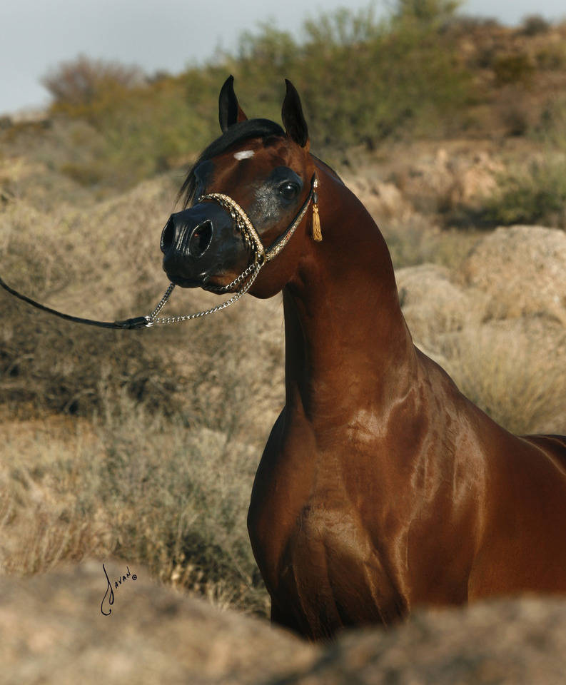 Marajj The Arabian Breeders World Cup Arabian Horse
