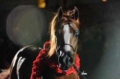 2012 Ahba Stallion Showcase The Arabian Breeders World
