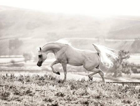 Al Ayal Aa The Arabian Breeders World Cup Arabian