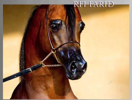 Rfi Farid The Arabian Breeders World Cup Arabian