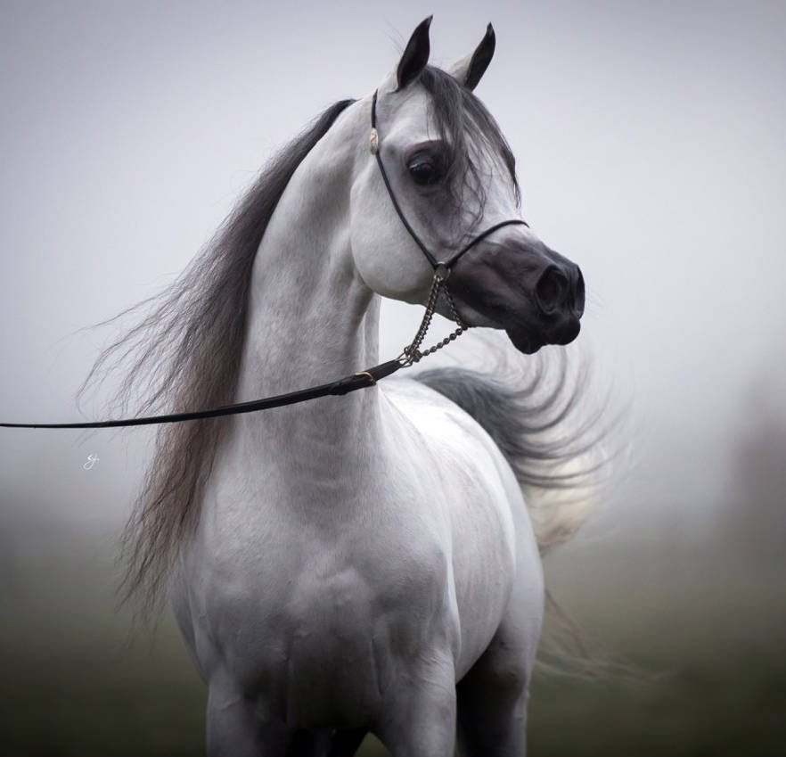 Naseem Al Rashediah, bred to La Dolce Jullye for a 2020 foal