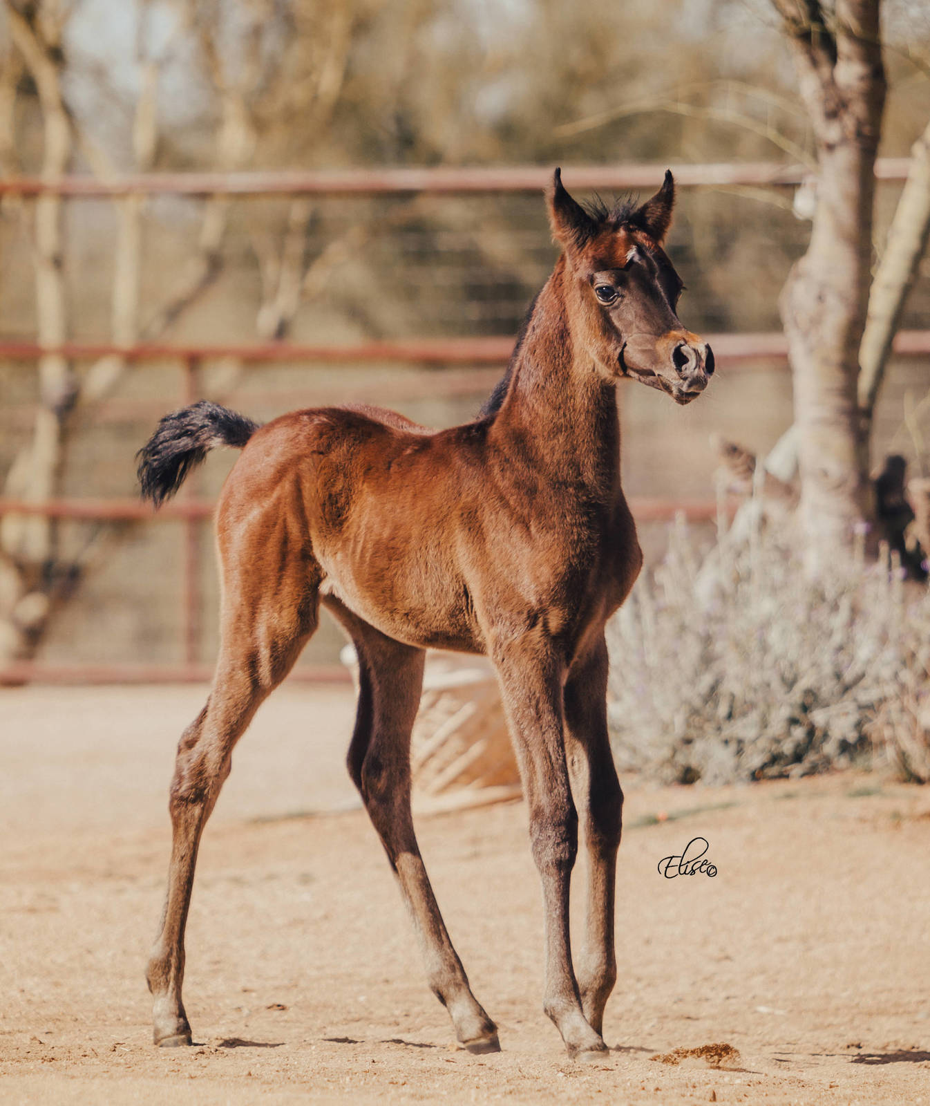 JR Diamond Girl as a weanling