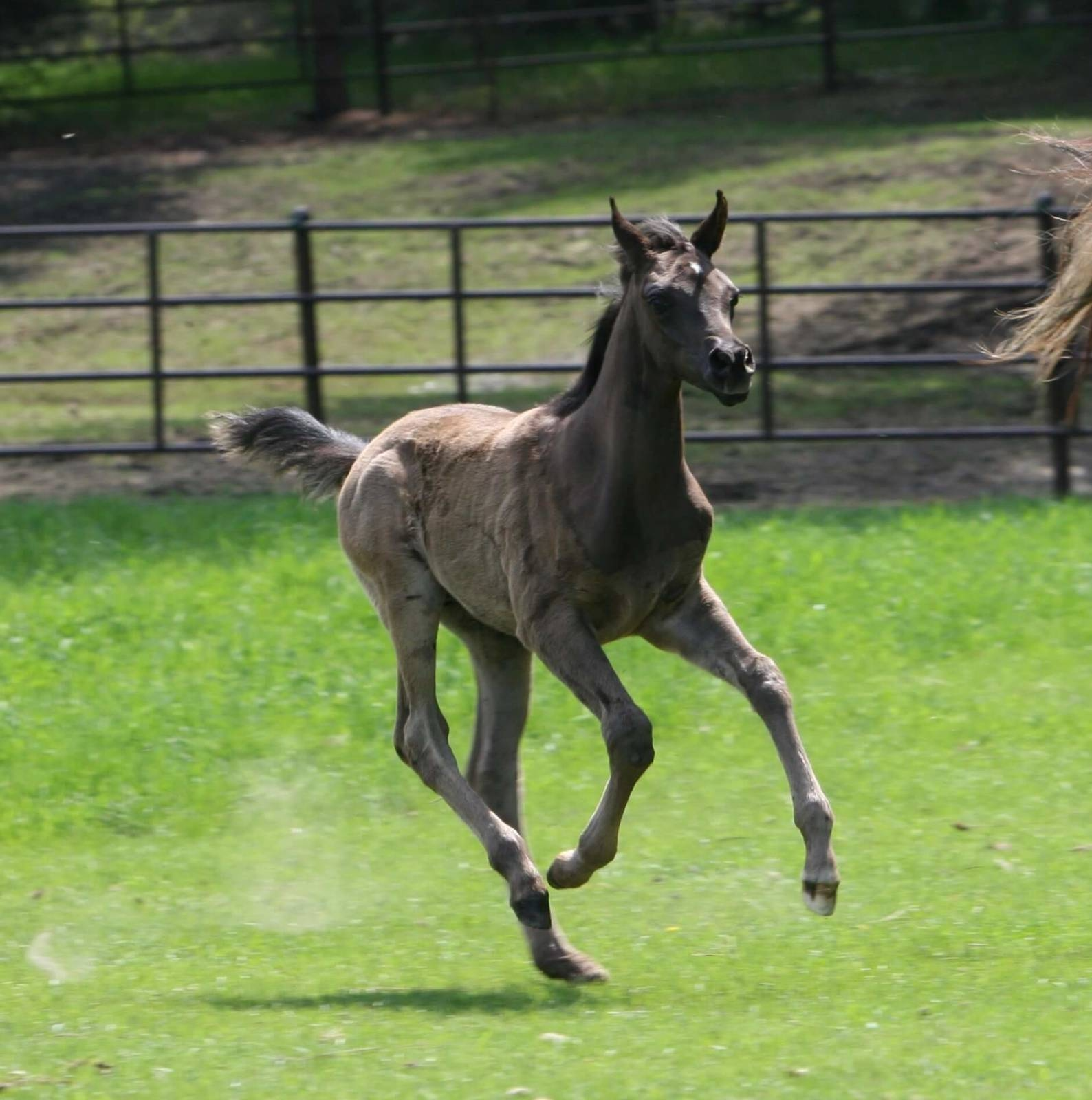 AZ Royal Emir - age 4 weeks
