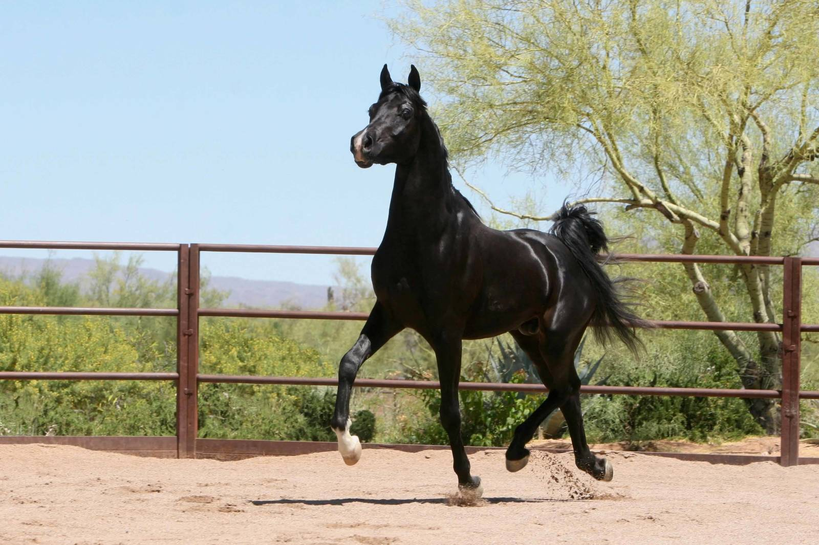 Homozygous Black SE Stallion - age 2