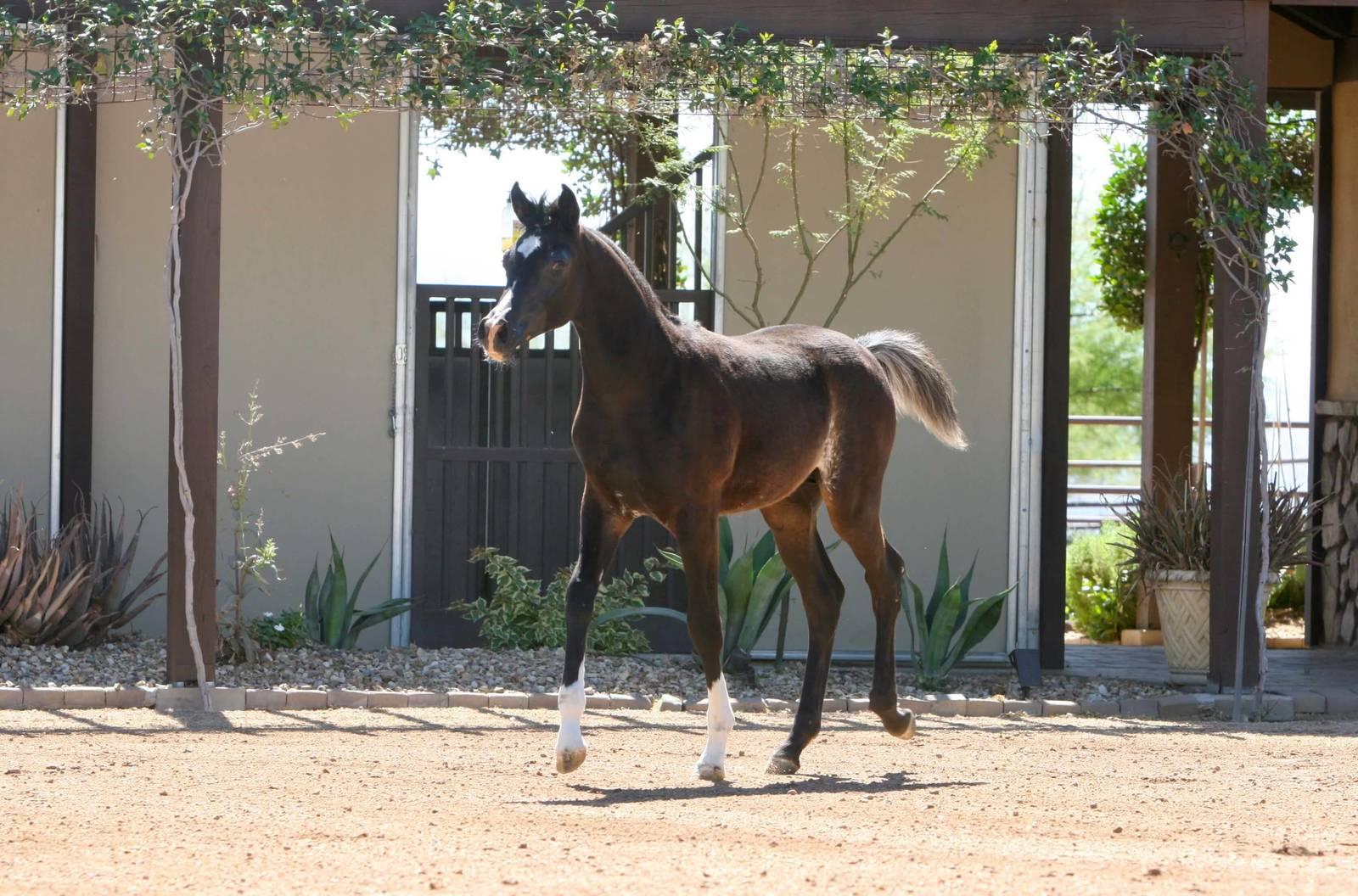 Azpin Regal - black SE colt - age 4 months