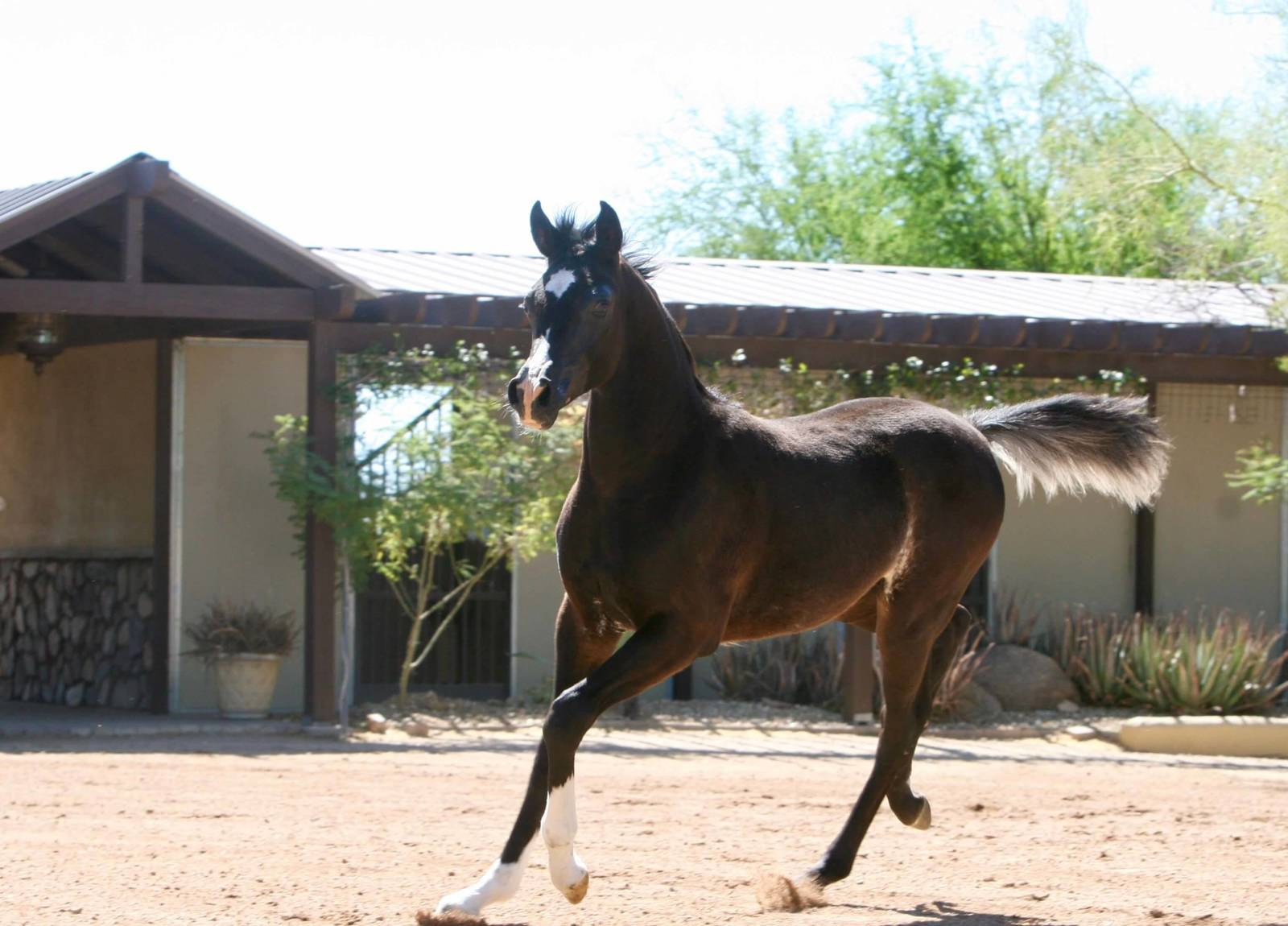 Azpin Regal - black SE colt - age 4 months
