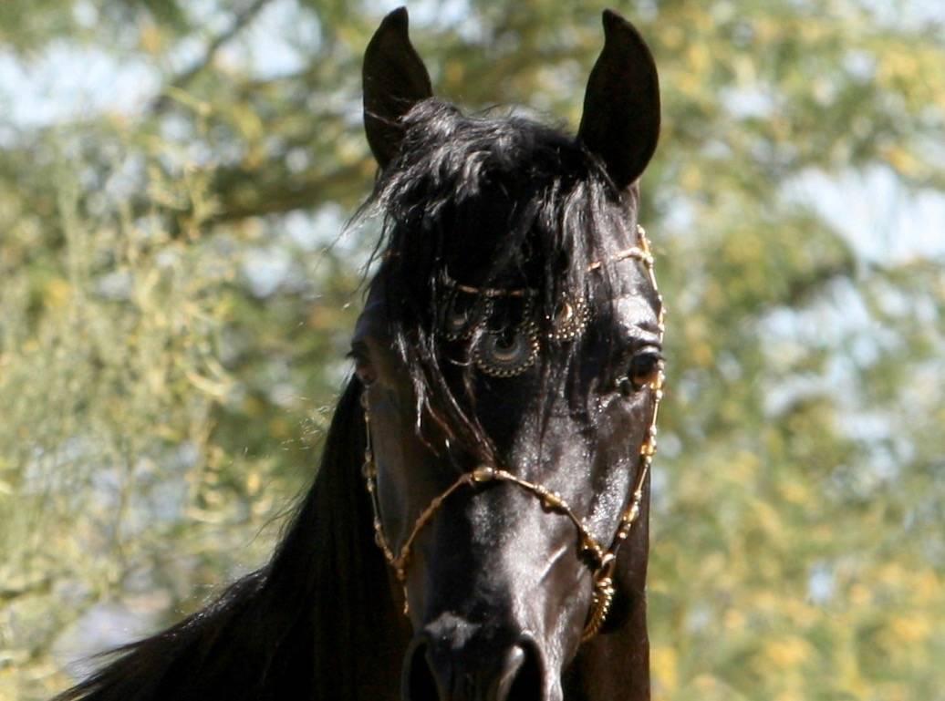 AZ Royal Emir - age 2