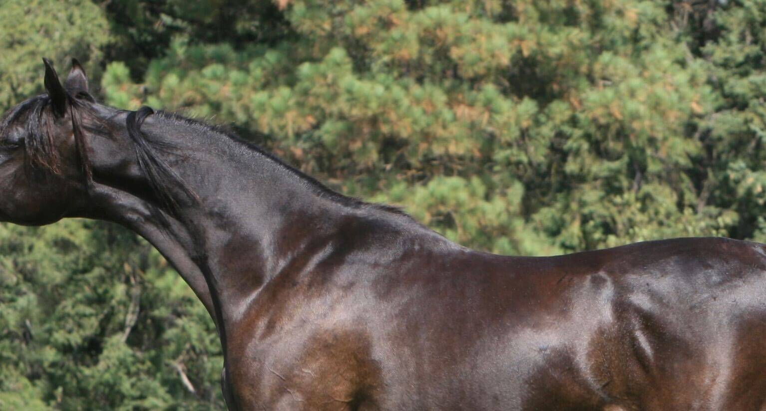 Homozygous black SE Colt  - age 17 months