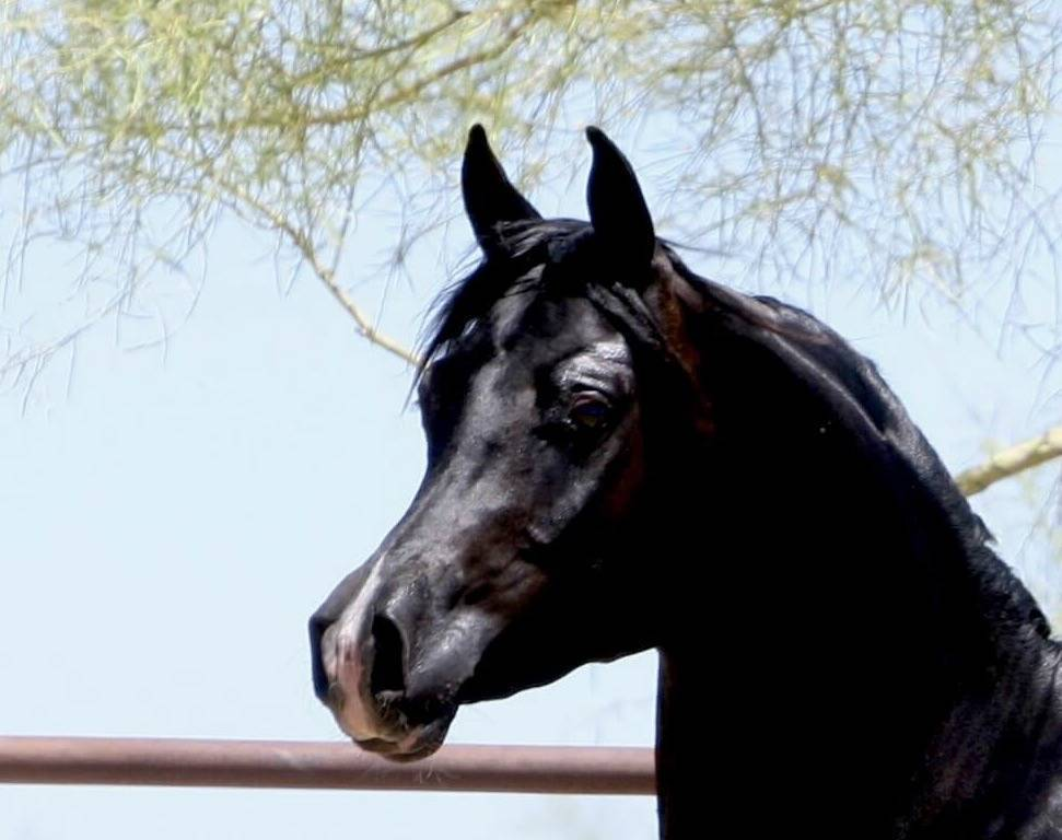 Homozygous Black SE Stallion - age 2