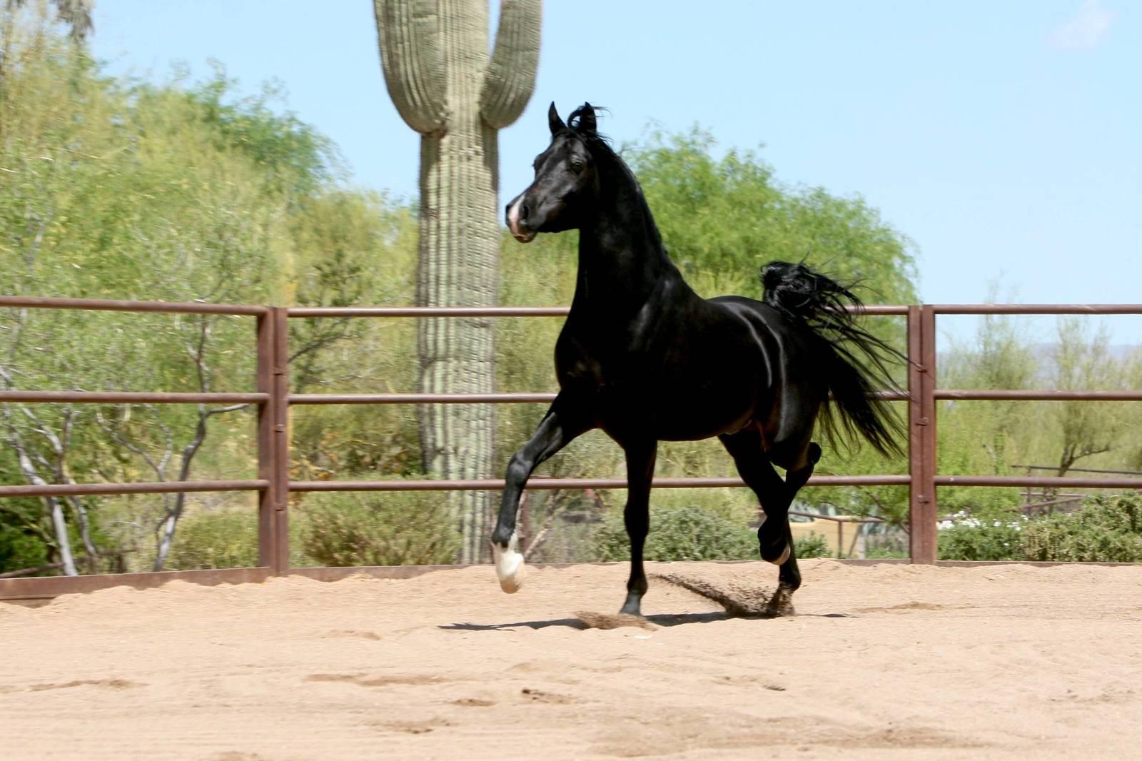 Homozygous Black SE Stallion - age 3