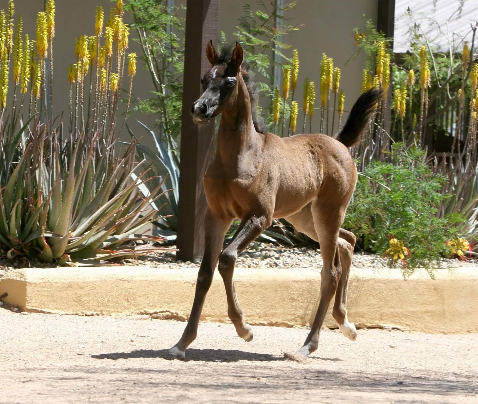 Azpin Brilliance - Black SE filly - Age 4 weeks