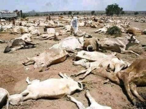 A herd of cattle laying dead on top of a dirt field