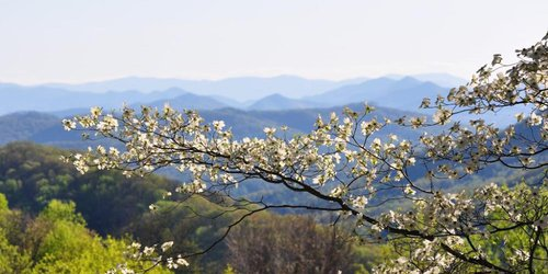 Dogwoods blooming in the Blue Ridge Mountains