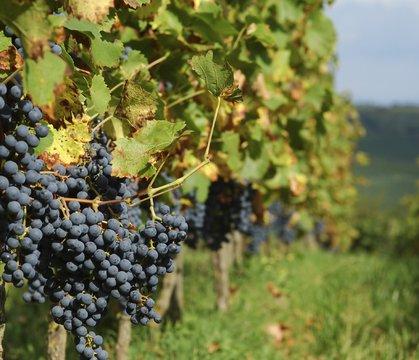 grapes2stockm