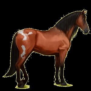 Cavalo de passeio Andaluz Castanho sangue