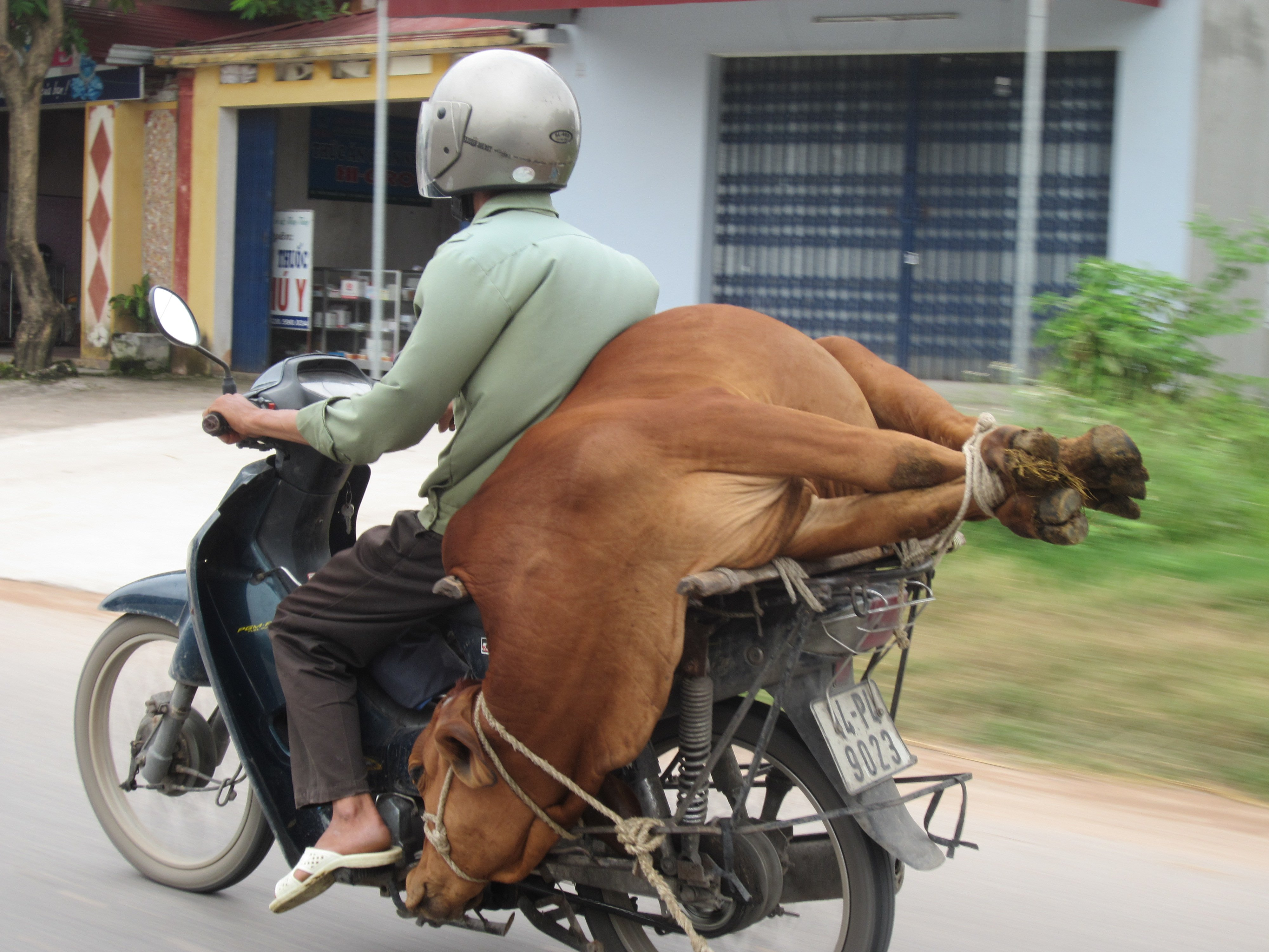 A Cow On The Back Of A Moped For Everyone Tired Of F Amp F7