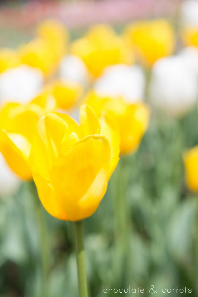 D.C. Tulip Garden