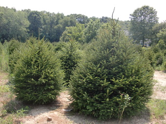 6-7' Norway Spruce