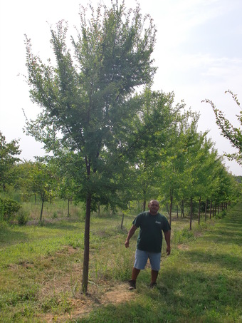 "2-3"" Allee Chinese Elm"
