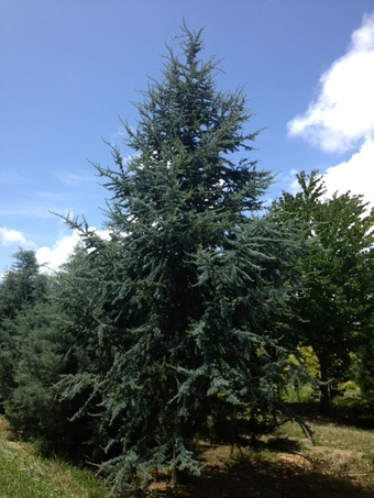 16-18' Blue Atlas Cedar