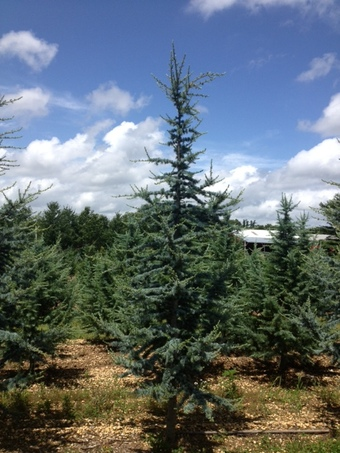 9-10' Blue Atlas Cedar