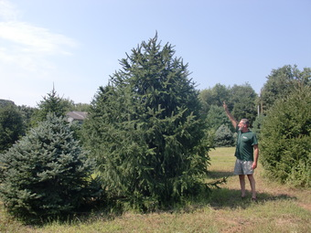 6-7' Colorado Blue Spruce on left