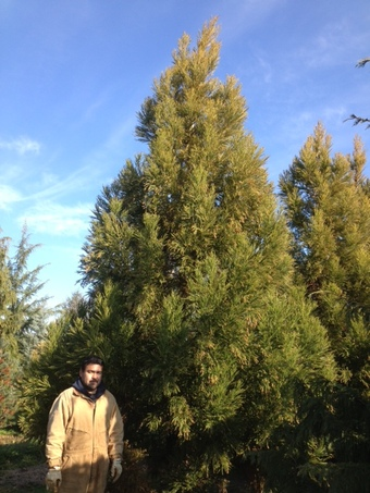 14-16' Yoshino Cryptomeria