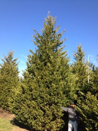 22-24' Leyland Cypress