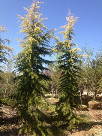 10' Wells Golden Deodara Cedar