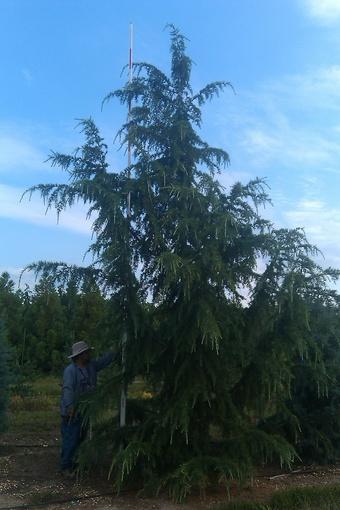 14-16' Deodara Cedar