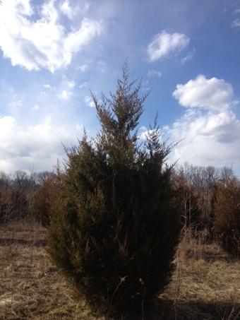 10-12' Eastern Red Cedar
