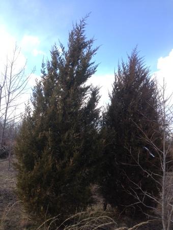 12-14' Eastern Red Cedar