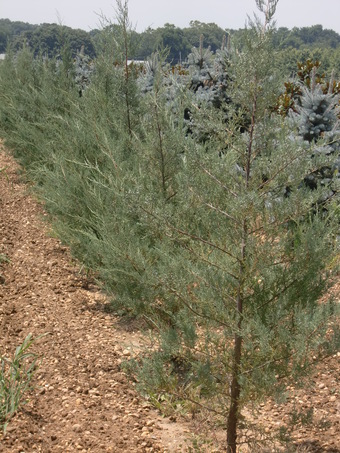 4-5' Burkii Eastern Red Cedar