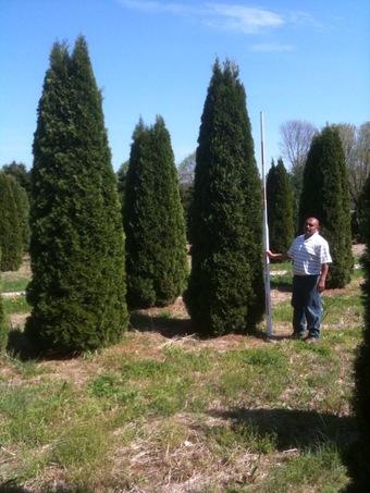 10-12' Emerald Green Arborvitae
