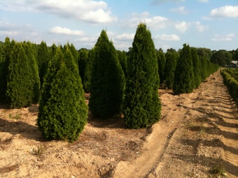 6-8' and 8-10' Emerald Green Arborvitae