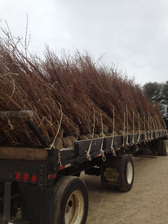 Truckload of 5-6' and 6-7' Forsythia