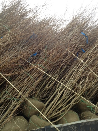 Loaded 5-6' and 6-7' Forsythia