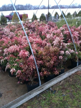 3 Gallon Pieris Japonica