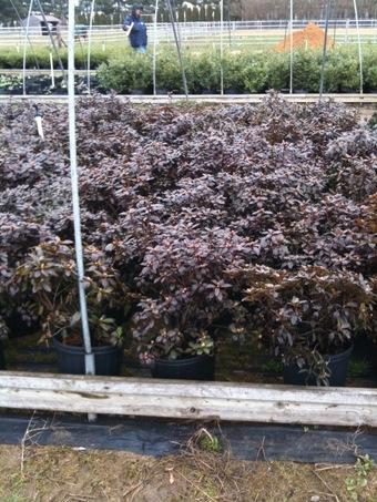 3 Gallon PJM Rhododendron