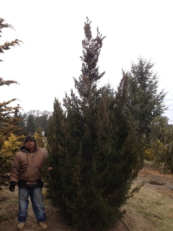 12-14' Hetzi Columnaris Upright Juniper