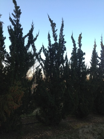 12-14' Robusta Upright Juniper