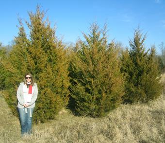 10' Eastern Red Cedar