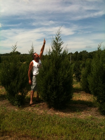 8-9' Keteleeri Upright Juniper