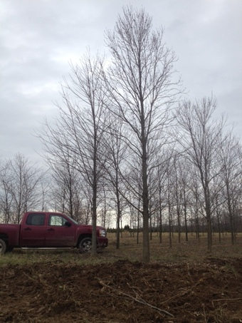 """8"""" Red Sunset Red Maple"""