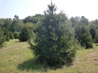 12-14' Norway Spruce
