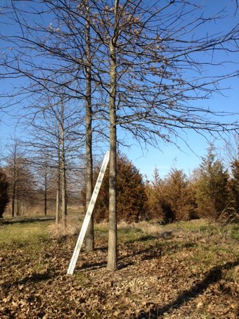"""3.5-4"""" Pin Oak"""