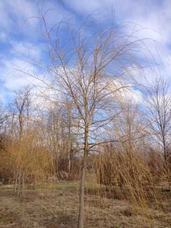 "5-5.5"" Golden Niobe Weeping Willow"