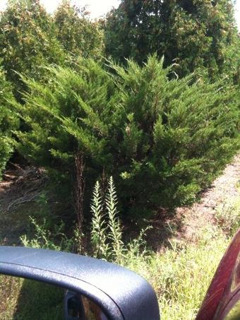 5-6' Seagreen Spreading Juniper