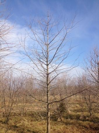 14' Shawnee Brave Bald Cypress