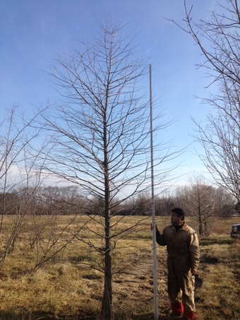 14' Shawnee Brave Bald Cypress